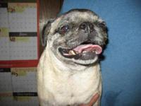 Pug - Maggie - Small - Adult - Female - Dog Name: