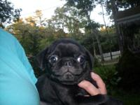 Pug, male, black, 1st shots and wormed, home raised,