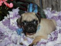 Beautiful Soft Fawn with Black Mask Pug Puppy. Male ACA