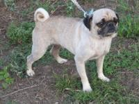 I am rehoming a very nice fawn adult male pug. Willy is