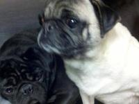Pug - Marcy - Small - Adult - Female - Dog Name: Marcy