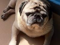 Pug - Minnie - Medical Hold - Small - Senior - Female -