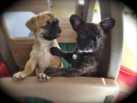 We have 3 adorable male Pug Mix Puppies ready for new