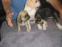 I have 4 Pug mix puppies for sale. They have their