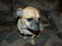 Pug - Moe - Small - Adult - Male - Dog Moe is a pug mix