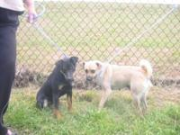 Pug - Mom And Son - Medium - Young - Female - Dog