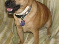 Pug - Oscar - Urgent!! - Large - Young - Male - Dog My