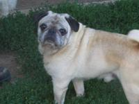 Pug - Pappy - Small - Senior - Male - Dog If you think