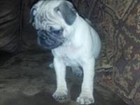 We have pug puppies that are 5 weeks !! Only males are
