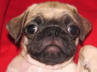 Pug Puppies ready to be homed with good families. Vet