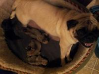 Adorable Pug Pups. Born 12-1-12. Full blooded, parents