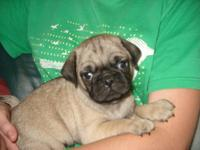 We have 3 fawn pug puppies that will be 8 weeks old on