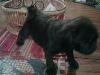ACA reg pug puppies 2 males left they are chunky and