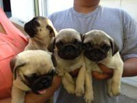 I have 3 female 1 male pug puppies they r 2 months old