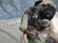 we have Beautiful Pug Puppies available Ready for new