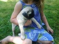 We have 3 male fawn Pug puppies ready for new homes.