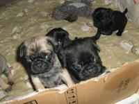 I have 4 full blooded pug puppies for sale, 1 fawn male