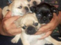 Finallyy**they are ready;-) pure pug puppies, these