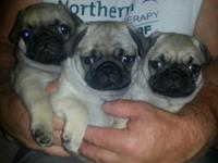 Male pug puppies, 10 weeks old and all up to date