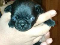 I HAVE PUG PUPPIES FOR SALE , THEY WILL BE READY TO GO