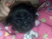 Pug puppies 6 weeks old.. They will be 8 weeks the end
