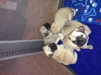 WE HAVE 3 FEMALE FAWN PUG PUPPIES LEFT. THESE GIRLS ARE