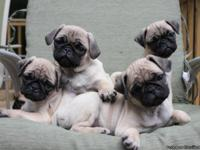 Irresistible FAWN pug puppies born August 1st. Curly
