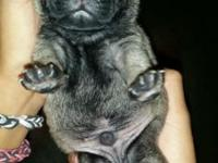 I have 4 pug puppies. One fawn male and 3 black