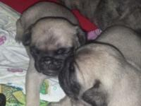 One fawn female $700, one brindle male $700, 2 fawn