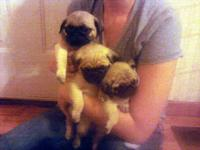Born September 12, 2014. Male and female pug puppies.