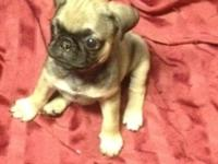 9 weeks old and extremely little in size lovable pug