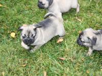 Pug young puppies are prepared for a loving and caring