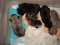 2 FAWN COLOR FEMALE PUG PUPPIES $650.00 1 BLACK FEMALE
