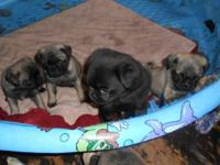 4 male pug puppies, 1 black 3 fawn. Vet checked & 1st