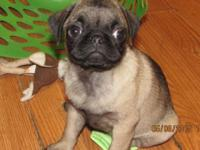 Two fawn Pug puppies. One male and one female. Playful