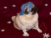 A.K.C. Reg. Pug Puppies- Fawn Male + Female Avail.,