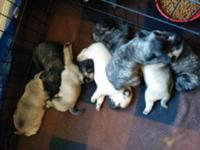 Pure pug puppies, born May 4th, ready to go in early