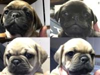 Litter of PUG PUPPIES for sale Out of a Black Male
