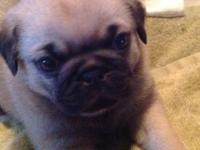 Pug puppies black and white males and and 1 black