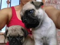 Male and Female Pug puppys available shots dewormed vet