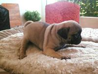 Adorable pug puppies Loving cute playful Re-homing fee