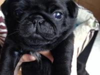 Exceptional Pug puppies.They are great gifts for