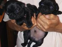 One black male pug puppy one black female pug puppy