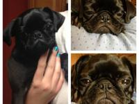 Must see in person! We have three adorable pug puppies
