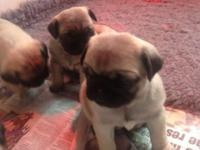 We have these beutiful pug puppies that are ready for