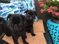 ONLY 1 LEFT! 1 MALE BLACK PUG PUPPY, 9 WEEKS OLD,