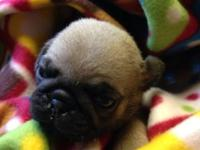 CKC registered male pug puppies.Welped