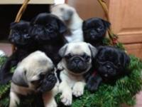 CKC Registered Pug Puppies for sale. Males and females.