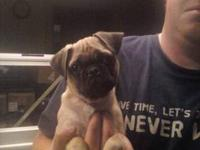 For Sale: AKC fawn, male, pug puppies, $600. Taking