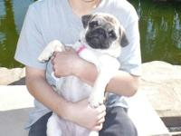 I HAVE FAWN and APRICOT AKC CHAMPION LINES PUG PUPPIES